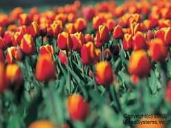 Flower2005_2